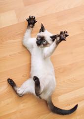 Le ballet de chat. (PebblePicJay) Tags: cat kitten cute paws furry canon canon6d floor dance siamese