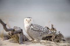 Snowy (Khurram Khan...) Tags: wildlife wildlifephotography wild wwwkhurramkhanphotocom winter iamnikon nikonnofilter ilovenature khurramkhan nikon nikond850 newjersey birdsofprey birdphotography ilovewildlife