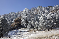 After the snow (Jeff Mitton) Tags: ponderosapine snow forest conifer flagstaffmountain boulder colorado winter tree landscape mountainside earthnaturelife wondersofnature