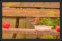 """Ready Robin..."" (NikonShutterBug1) Tags: nikond7100 tamron70300mm birds ornithology wildlife nature spe smartphotoeditor birdfeedingstation bokeh birdsfeeding robin"
