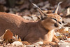Caracal (Scriblerus) Tags: caracal memphiszoo cat eartufts