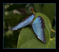 "Blue Morpho Butterfly (Aaron (""Ronny"") Rentz) Tags: to do"