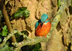 Kingfisher (Alcedo atthis) (Nick Dobbs) Tags: kingfisher alcedo atthis kingfishers bird aquatic dorset male