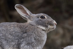 20180106_IMG_5772 (NAMARA EXPRESS) Tags: animal rabbit eye face okuno island cloudy daytime winter outdoor color okunoisland kasahara hiroshima japan canon eos 7d sigma 50mm f14 dg hsm art namaraexp