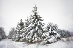 Winter Wonderland (LupaImages) Tags: pines tree big fluffy snow winter white cold wet wonderland february soft ice sleet landscape outdoor outside nature road large