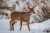 GoodLooking (jmishefske) Tags: 2018 nikon nature d500 center february milwaukee franklin antler wildlife rack wisconsin wehr park whitetail buck deer whitnall