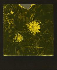 First Daisies (sycamoretrees) Tags: 600 analog bellisperennis daisy film flower grass impossible instantfilm integralfilm marianrainerharbach polaroid polaroidoriginals slr680 thirdmanrecordsedition yellow yellow600 yellow600201605