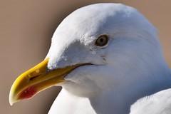 Herring Gull Close up head shot (strongie471) Tags: feather yellow white bird closeup headshot head seaside wildlife sigmalens nikond5500 nikon seagull gull herringgull seabird
