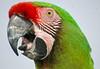 Military Macaw (Ara militaris, Ara militaire). Parc des Oiseaux, Villars les Dombes, France. 2009/06. (joelgambrelle) Tags: macaw bird nikond60