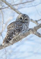 Daytime Hunt (maryanne.pfitz) Tags: barredowl strixvaria owl birdofprey bird wildlife perched hunting winter poplartree branch marathoncounty wisconsin merrill gd1a2865bo maryannepfitzinger