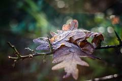 Frosty leaf.. (jonbawden50) Tags: leaves winter frosty light woods plants