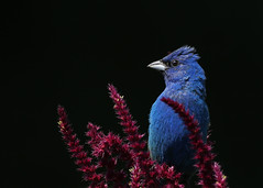 Indigo Bunting...#55 (Guy Lichter Photography - 3.7M views Thank you) Tags: indigobunting canon 5d3 canada manitoba winnipeg wildlife animal animals birds bunting male