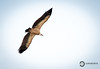 Griffon Vulture (Gyps fulvus) (Ouroboros Photography) Tags: accipitridae bif bird birdinflight birdofprey elchorro eurasian europe griffonvulture gypsfulvus mountains spain vulture ouroborosphotography canon