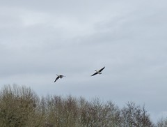 P1010332 (KENS PHOTOS2010) Tags: birds geese walks lakes ponds lapwings cormarants song woodpecker nature reserve swans water wildlife