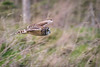 ''Short Eared Owls'' (marcbryans) Tags: portlandbill dorset uk short eared owls birdsofprey telephoto outdoors flight bird nikond500 nikkor200500mmf56e