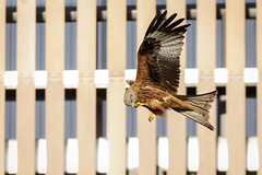 In-flight Pedicure (Unintended_Keith) Tags: redkite urban pedicure inflight birdinflight birdofprey nature wildlife canon1dx sigma150600mms