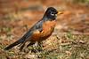 American Robin (jt893x) Tags: 150600mm americanrobin bird d810 jt893x nikon robin sigma sigma150600mmf563dgoshsms songbird thrush turdusmigratorius coth thesunshinegroup alittlebeauty coth5