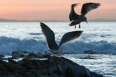Lost Cause (asiantango) Tags: animal bird birds california crystalcove goldenhour item landscapes landscaping lens newportbeach nikkor180mmf28aised object orangecounty out outdoor outdoors outside outsides pacificocean sunny water weather