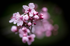 blossom (Angelo Petrozza) Tags: blossom fioritura prunus fiori flowers angelopetrozza pentaxk70 55300f458