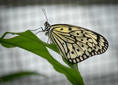 Schmetterlingschau in dem Botanischen Garten in München (Janos Kertesz) Tags: butterfly nature insect wing white fly leaf macro garden black flower green animal