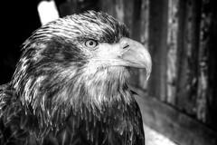 Hard Stare (aptsmith) Tags: bald eagle bw blackandwhite hdr high dynamic range nikon d300 2470mm aptsmith bird endangered sharp beak
