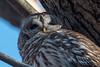 SetTheBarredHigh (jmishefske) Tags: 2018 nikon owl halescorners birdofprey d500 bird barred park milwaukee wisconsin whitnall february