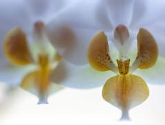 mini orchid, less than an inch (marinachi) Tags: macromonday macro closeup orchid white yellow lessthananinch sundaylights flora backlight cof020dmnq cof20ally cof020chon