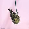Quando si dice appesi a un filo (Danilo Agnaioli) Tags: bird canon7dmarkii natura italia umbria collinedelperugino inverno perugia