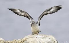 Australasian Gannet (Jims Wildlife) Tags: gannet australasiangannet morusserrator bird australia nature wildlife animal rock pointdanger victoria