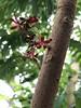 Averrhoa bilimbi, Conservatory, NYBG (Kristine Paulus) Tags: averrhoabilimbi nybg newyorkbotanicalgarden conservatory tropicalplants horticulture publicgarden nyc redflowers