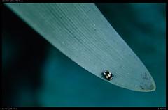 Lil bug (Falcdragon) Tags: tamronspaf90mmf28dimacro sonya7riialpha ilce7rm2 newzealand nature bokeh insects bugs macro