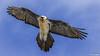 Ooch eol-8639 (Zurkhee) Tags: bird mongolia jargalant vulture beardedvulture