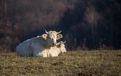 cows (03) (Vlado Ferenčić) Tags: cows animals vladimirferencic animalplanet vladoferencic zagorje hrvatskozagorje hrvatska croatia nikond600 nikkor8020028