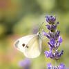 Schmetterling im Sommer (Photo.Nartschik) Tags: natur nature wildlife makrofotografie macrophotography macro makro insect insekt sommer schmetterling