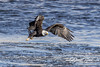 Fly Fishing (david.horst.7) Tags: eagle bird wildlife nature fish river water
