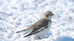 Snow Bunting (snooker2009) Tags: bird snow bunting migration nature wildlife pennsylvania winter