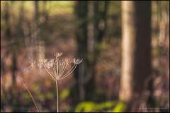Dried cow parsley (G. Postlethwaite esq.) Tags: dof derbyshire radbournelane beyondbokeh bokeh cowparsely depthoffield moss photoborder seedhead selectivefocus trees winter wood