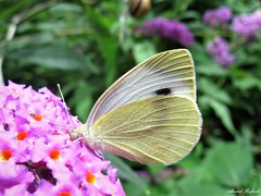 Butterfly 1565 (+1000000 views!) Tags: butterfly borboleta farfalla mariposa papillon schmetterling فراشة