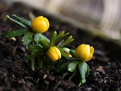 SAM_7245 (Stille Wasser) Tags: frühling lenz winterlinge blüten blumen