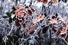 Trois idées d'hiver II/III. (stephane.desire) Tags: hiver feuille givre chêne bokeh orange