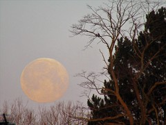 Very Low Blue Moon (Gary Chatterton 4 million Views) Tags: moon fullmoon bluemoon morning low trees nature sky space satellite colours canonpowershot flickr photography explore amateur goodmorning