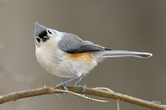 Tufted Titmouse (jt893x) Tags: 150600mm baeolophusbicolor bird d500 jt893x nikon nikond500 sigma sigma150600mmf563dgoshsms songbird titmouse tuftedtitmouse coth thesunshinegroup alittlebeauty sunrays»5 coth5