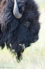 Bison Bull (stephaniepluscht) Tags: montana 2017 national bison range bull buffalo