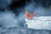 Winter mood (Suresh V Raja) Tags: winter butterfly rock blue nikon suresh chennai tamilnadu india sureshcprog sureshphotography d5300 yercaud salem closeup