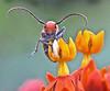 Face To Face With Milkweed Beetle (Vidterry) Tags: beetle milkweedbeetle butterflyweed