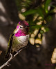 Anna's Hummingbird (dbking2162) Tags: birds bird hummingbird mountains maderacanyon arizona pink colorful beautiful beauty animal nature nationalgeographic wildlife