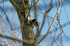 Mésange Boréale (Julien C.G.P) Tags: poecile montanus willow tit mésange b bird birds boréale wild wildlife birdwatcher birding
