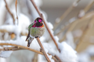 Anna's Hummingbird in the snow