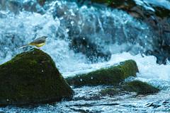 LAVANDERA (Carlos Cifuentes) Tags: lavanderacascadeña lavandeirareal motacillacinerea greywagtail carloscifuentes wildlife wildlifenature nature bird birds
