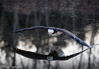 Bald Eagle skimming the water